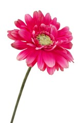Цветок декоративный Гербера